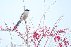 Azuurblauw-gevleugelde Ekster stock fotografie