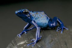 Azuurblauwe pijltjekikker/azureus Dendrobates stock foto