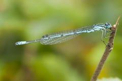 Azuurwaterjuffer, Azure Bluet, puella de Coenagrion fotos de archivo