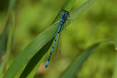 Azuze Damselfly, Coenagrion puella, resting on a leaf. Azuze Damselfly, Coenagrion puella, resting on a leaf in the sunshine royalty free stock photos