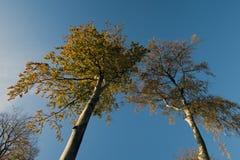 Azzurri delle cime d'albero del faggio Fotografia Stock