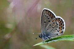azzurro Argento-fissato Fotografie Stock