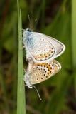 azzurro Argento-fissato - Plebejus Argus Fotografia Stock