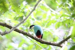 Azzurro-breasted Pitta Fotografia Stock Libera da Diritti