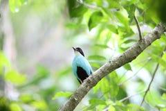 Azzurro-breasted Pitta Immagini Stock