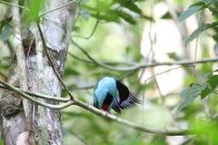 Azzurro-breasted Pitta Fotografia Stock