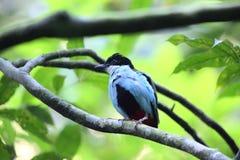 Azzurro-breasted Pitta Immagini Stock Libere da Diritti