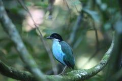 Azzurro-breasted Pitta Immagine Stock
