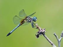 Azzurro Dasher della libellula fotografia stock