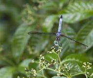 Azzurro della libellula Fotografia Stock Libera da Diritti