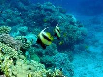 Azzurro della radura della barriera corallina con i pesci della bandiera Immagine Stock