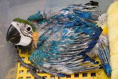 Azzurro di bambino & Macaw dell'oro immagine stock