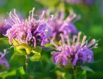 Bálsamo de bergamota selvagem ou de abelha imagem de stock royalty free