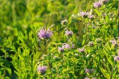 Bálsamo de la bergamota salvaje o de abeja Foto de archivo libre de regalías