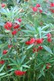 Bálsamo ou Rose Balsam vermelha do jardim fotografia de stock royalty free