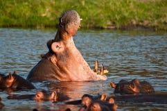 Bâillement d'hippopotame Photographie stock libre de droits