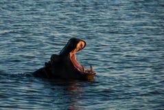 Bâillement d'hippopotame Photos stock