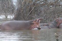Bâillement d'hippopotame image libre de droits