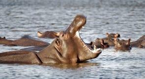 bâillement d'hippopotame Photographie stock