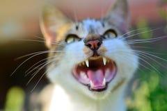 Bâillement de chat avec la bouche ouverte images stock