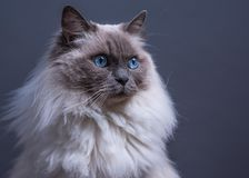 Bâillement de chat de Ragdoll de point bleu photos stock