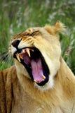 Bâillement de lionne Images libres de droits