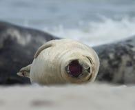 Bâillement gris de joint de bébé à la plage à la dune, helgoland, Allemagne Images libres de droits