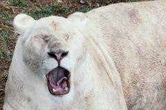 Bâillements de lion dans le zoo images stock