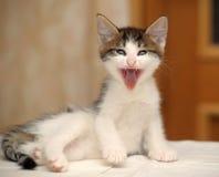 Bâillements drôles de chaton Photographie stock libre de droits
