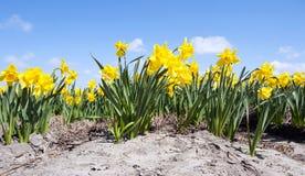 Bâti de fleur de jonquille Images libres de droits