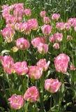 Bâti des roses Photographie stock libre de droits