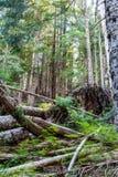 Bâti Rainier Forest photo stock