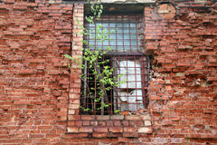 Bâtiment abandonné de brique rouge : sur la fenêtre élevez le bouleau Photo stock