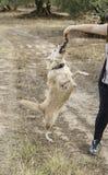 Bâton contagieux de chien Photo libre de droits