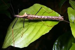 bâton d'insecte Image libre de droits