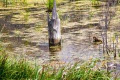 Bâton dans le marais marécageux Images stock
