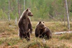 Bären im Wald, der herum schaut lizenzfreie stockfotografie