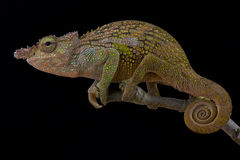Böhme's Two-horned Chameleon, Kinyongia boehmei. Is a spectacular lizard species found in Kenya royalty free stock images