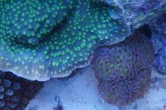 Bägare- och Euphyllia korall Arkivbilder