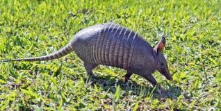 Bältdjur som söker för mat i fältet Arkivfoton
