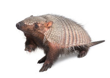 bältdjurcingulatadasypodidae Royaltyfri Bild