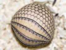 Bältdjuret behandla som ett barn bollen Arkivfoto