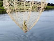 Bända fiskelås i ett stort netto vid dammet royaltyfria foton