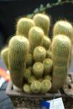 Bända kaktusprov Royaltyfri Bild