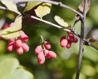 Bär av barberryen Arkivbilder