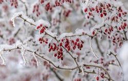 Bär av barberryen Barberry på filialen Barberry i frost på filialer vinter för blåa snowflakes för bakgrund vit fotografering för bildbyråer