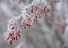Bär av barberryen Barberry på filialen Barberry i frost på filialer vinter för blåa snowflakes för bakgrund vit royaltyfria bilder
