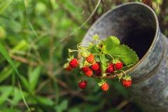Bär av den lösa jordgubben på filialer i en gammal tenn- krus Arkivfoto