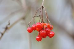 Bär av den röda viburnumen Arkivbilder
