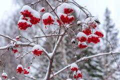 Bär av den röda viburnumen, efter vintersnöfall arkivfoto